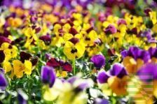 Der Winter war kurz. Aber wen stört das, wenn die Sonne scheint? Die Gärtner sind optimistisch und fangen an, die Blumen in die Erde zu bringen. Frost ist nicht mehr erwünscht. Ab Montag, 16. März 2015 startet die Frühlingsoffensive. Etwa 100 Mitarbeiterinnen und Mitarbeiter der Zentralen Technischen Dienste der Stadt beginnen mit den Pflanzungen von rund 95 000 Frühjahrsblühern und 45 000 Blumenzwiebeln.