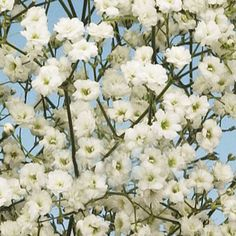 You can order baby's breath online in bulk - 10 bunches (approx 60-90 stems) for $120 with free shipping from fiftyflowers.com