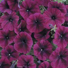Petunia Frenzy Velvet (6 'Must Have' Plants)