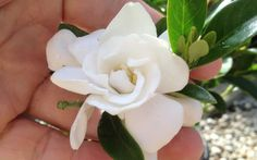 Jubilation Gardenia flower shrub - Quart - Shrubs for Summer Color - Southern Living Plant Collection - Featuring fragrant white booms spring into fall! Gardenia Bush, Fast Growing Shrubs, Flowering Shrubs, Evergreen Shrubs, Buy Plants Online, Garden Online, Rare Plants, Plant Sale, Plant Design