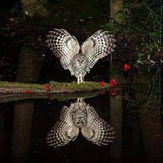 The morepork also called the ruru or Tasmanian spotted owl. Beautiful Owl, Animals Beautiful, Cute Animals, Pretty Birds, Love Birds, Owl Pictures, Owl Photos, Owl Bird, Tier Fotos
