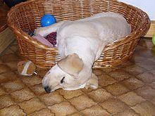 Labrador Retriever - Wikipedia, the free encyclopedia