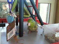 Mika on her Parakeet Park Playground.  we added a Scooter Z Bird Bed since she has trouble climbing and perching due to her foot problem.