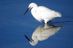 Little Egret, Egretta garzetta, Garceta Común | Flickr - Photo Sharing!