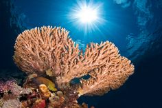 © Stefano Signorini - Acropora con Cerniotto - Felidhoo Maldive