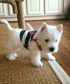The Most Dangerous Things In Your Home For Pets: Christmas Edition - West Highland White Terrier (Westie) - Animals Wild Westie Puppies, Cute Puppies, Cute Dogs, Dogs And Puppies, Doggies, Baby Dogs, Miniature Schnauzer Puppies, Fluffy Puppies, Schnauzers