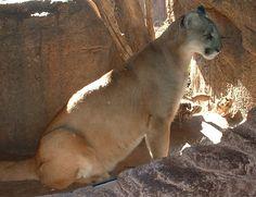 Cougar, photographed in the Arizona-Sonora Desert Museum, Tucson, Arizona