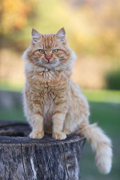 * * BAD DIET TIPS: Pickles suggests pushing your chair away from the table when you're full. ( But push it back again if there's dessert). Cute Cats And Kittens, I Love Cats, Crazy Cats, Cool Cats, Kittens Cutest, Ragdoll Kittens, Funny Kittens, Bengal Cats, White Kittens