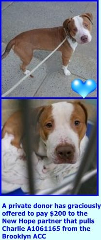 SUPER URGENT Brooklyn Center My name is CHARLIE. My Animal ID # is A1061165. I am a male red and white am pit bull ter mix. The shelter thinks I am about 1 YEAR old. I came in the shelter as a STRAY on 12/22/2015. http://nycdogs.urgentpodr.org/charlie-a1061165/