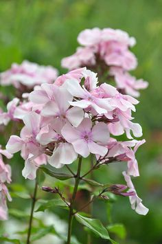 Phlox 'Rosa Pastel' - Keep powdery mildew at bay by feeding it with GrowBest organic seaweed fertilizer with added rock dust worm casts. www.shop.embiotechsolutions.co.uk/EM-Seaweed-Fertilizer_c3.htm