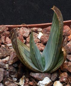 Aloe karasbergensis 4-inch pots