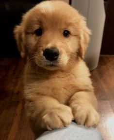 Super Cute Puppies, Cute Baby Dogs, Cute Little Puppies, Cute Dogs And Puppies, Cute Little Animals, Doggies, Puppies Puppies, Cute Puppies Golden Retriever, Chien Golden Retriever