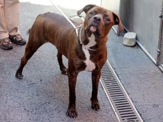 GONE - 4/21/14  Manhattan Center    My name is ABRIL. My Animal ID # is A0996856.  I am a spayed female bl brindle pit bull and weimaraner mix. The shelter thinks I am about 3 YEARS old.   I came in the shelter as a OWNER SUR on 04/16/2014 from NY 10037, owner surrender reason stated was NO TIME.   https://www.facebook.com/photo.php?fbid=788166714529543&set=a.611290788883804.1073741851.152876678058553&type=3&permPage=1