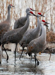 "Sandhill Cranes by DawnWilsonPhotography, via Flickr ~ 34-48"" (86-122 cm). W. 6' 8"" (2 m). Very tall, with long neck and legs. Largely gray, with red forehead; immature browner, no red on head. Plumage often appears rusty because of iron stains from water of tundra ponds. Voice: A loud rattling"