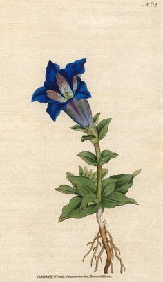 Gentiana acaulis (1788). Mountainous perennial...   Wallace Gardens