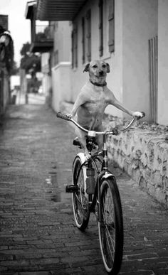Funny pets in bikes compilations. 15 pets that show us the little pleasure of riding a bike, with a pet perspective. Laugh, and enjoy riding! Funny Dogs, Funny Animals, Cute Animals, Dog Riding Bike, Riding Bikes, I Love Dogs, Puppy Love, Animal Pictures, Funny Pictures