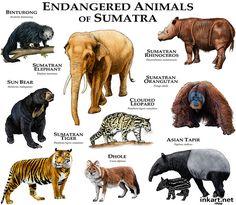 Endangered Animals of Sumatra - Roger Hall