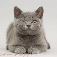 Blue British Shorthair kitten winking on grey background photo - WP42211