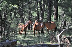 """American Wild Horse Preservation Campaign - FOREST SERVICE: DON'T """"COWTOW"""" TO RANCHERS"""