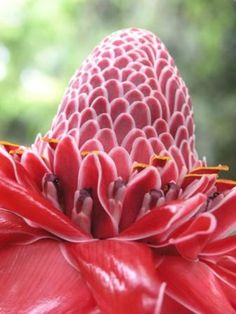 Torch Ginger, Baston del Emperador, San Jose, Costa Rica