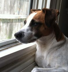 Lucy the insane Jack Russell Terrier in a quiet, contemplative Sunday morning moment...