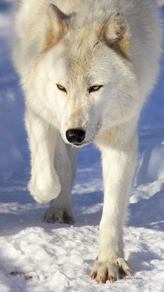 Wolf on the hunt. / ❇ ❈ ❄ Let It Snow ❆ Let It Snow ❆ Let It Snow ❄ …