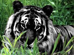 opposite of albinism is melanism. this tiger with melanism is Rare Animals, Animals And Pets, Wild Animals, Exotic Animals, Strange Animals, Beautiful Cats, Animals Beautiful, Big Cats, Cats And Kittens