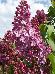 Lila orgona. Weddings, Plants, Wedding, Plant, Marriage, Planets