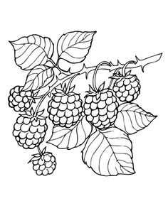 Blackberry Branch Coloring page