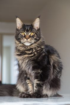 Maine coon kitten 8 months brown tabby blotched. Millquartercoons Boreas Albus. Black tabby. Instagram: @boreas.abus.mainecoon