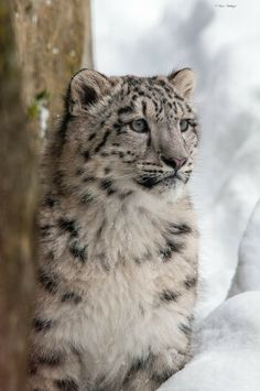 Schneeleopard Beautiful Cats, Animals Beautiful, Cute Animals, Baby Exotic Animals, Ghost Cat, Paws And Claws, Domestic Cat, Snow Leopard, Nature Animals