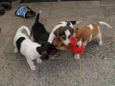 Jack Russell Terrier | Biete Jack-Russell Terrier
