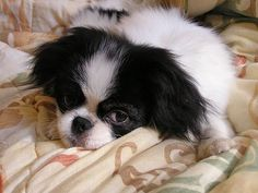 Breeds of small dogs : best small dog breeds: Japanese Chin (Chin) small dog breed