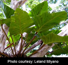 Philodendron melinonii Brongn. ex Regel, Philodendron melinonii, Exotic Rainforest rare tropical plants