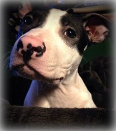 """CUBBY-  Hi !!!  I'm Cubby !! Don't you love my cute pink and black nose?? My foster mom sure does!  She gives me nose kisses and I love it!  I am a super sweet 3 month old boy !!  I am good in my crate, I'm doing super good with my potty training and I look like a little baby cow !!  And BOY do I love to cuddle !!  My foster mom and me get under a big blanket and snuggle all the time!!  She thinks I am just the sweetest little boy !!  I don't """"puppy bite"""" and I give the nicest puppy kisses!"""