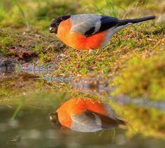 Goudvink van vroegevogels