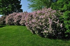 LANDSCAPING:  Lovely yard border of pink lilacs