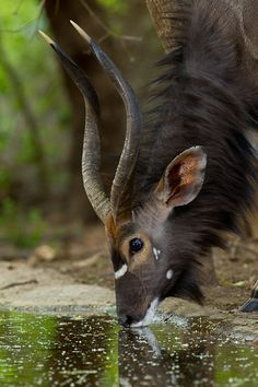 Africa | Male Nyala. Forest Camp extension. South Africa | ©Stu Porter, Wild4 Photographic Safaris