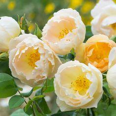 Coniston (syn. Comte de Champagne) David Austin roses