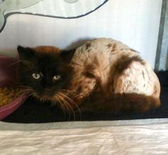#maasmechelen #gevonden #kater geen chip ongecastreerd. Het is een hele speciale kat om te zien: hij heeft blauwe ogen, een donkerbruine halflangharige vacht en hij lijkt op een raskat. Zijn vacht is zeer recent geschoren, dus blijkbaar had hij heel veel klitten. We gaan op zoek naar de eigenaar! Hij komt bij Zwerfkat in Nood https://www.facebook.com/zwerfkatinnood?fref=photo in de opvang, dus alles komt sowieso goed voor dit ventje 2 a 3 jaar oud. contact met onze gsm: 0495-285127