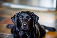 Black Labs will always have my heart.