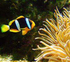 """Paket Perjalanan Wisata Pulau Belitung bersama Imaji Tour - Jika anda melakukan snorkeling di kawasan sekitar Pulau Lengkuas, Pulau Kepayang, dsk... anda akan menjumpai """"Ikan Nemo"""" alias """"Anemonefish"""". Ikan ini memang mulai mendunia sejak adanya film animasi dari """"Pixar"""" yaitu """"Finding Nemo"""". Mari kita simak penjelasan lebih lanjutnya"""