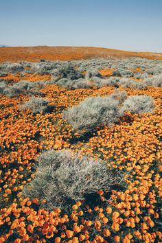 weissewiese: Paul Edmondson (fotógrafo de hortelã Images), o florescimento da papoila Califórnia em Antelope Valley (2008)