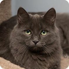 Toronto, ON - Domestic Longhair. Meet Teena a Cat for Adoption.