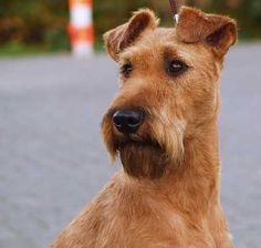 Irish Terrier Group: Terriers Origin: Ireland Purpose: Farm and guard dog Description: This Terrier must be active, lithe, and wiry in movement, with great animation; sturdy and strong in Airedale Terrier, Welsh Terrier, Terrier Dogs, Fox Terriers, White Terrier, Terrier Mix, Lakeland Terrier, Horses And Dogs, Dogs And Puppies