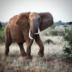 Women and elephants never forget an injury. (H. H. Munro)  This is the first animal I saw in my first gamedrive! What a big emotion!