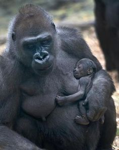 Franklin Park Zoo has announced the birth of a baby gorilla