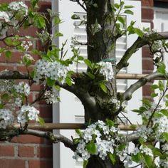 Leiboom sierpeer / stuk - stamhoogte 200 cm (maat 10-14) Classic serie (Pyrus calleryana Chanticleer leiboom)