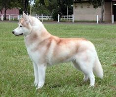 light red husky looks like Riley