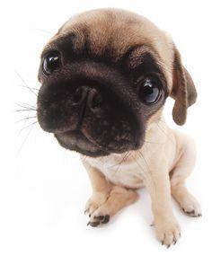 The Dog - Pug